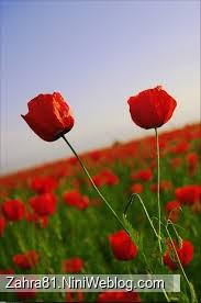دو تا گل لاله که در یک زمین پر از گل لاله عکس گرفته شده